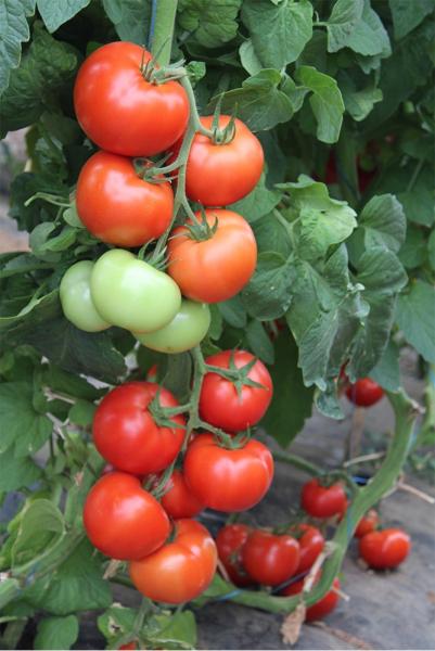Seminte de tomate nedeterminate Ciciu F1, 500 sem 4