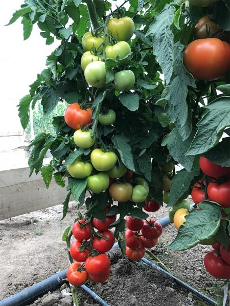 Seminte de tomate nedeterminate Ciciu F1, 500 sem 5