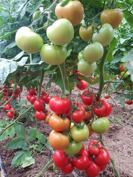 Seminte de tomate nedeterminate Ciciu F1, 500 sem 6
