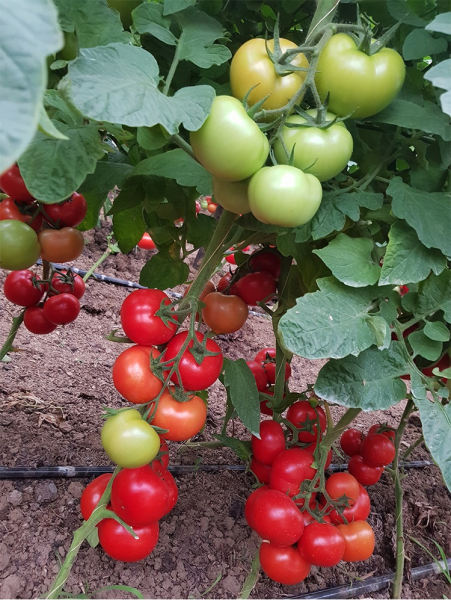 Seminte de tomate nedeterminate Ciciu F1, 500 sem 7