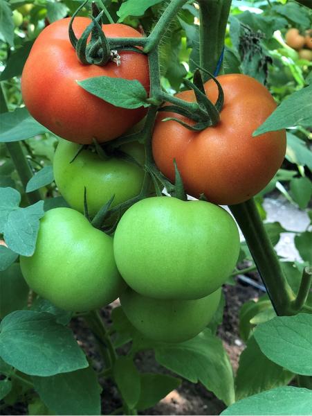 Seminte de tomate nedeterminate Dinakor F1, 500 sem [1]