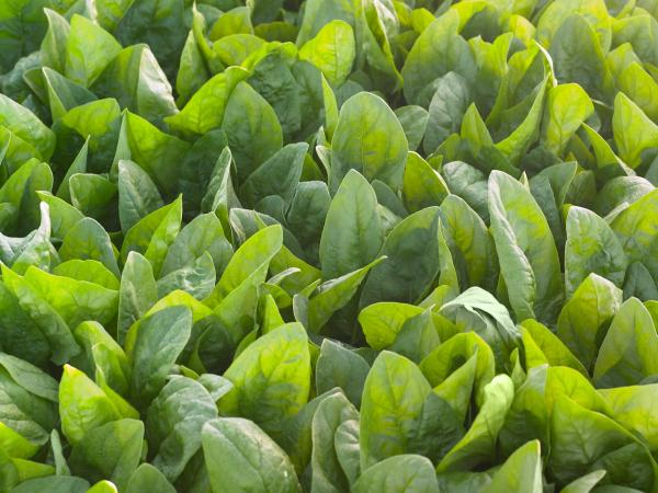 Seminte de spanac, El Prado F1, 100.000 seminte [0]
