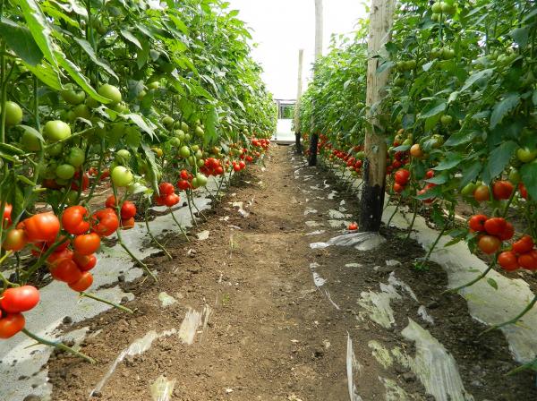 Seminte de tomate semideterminate Gravitet F1, 500 sem [1]