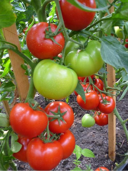 Seminte de tomate semideterminate Gravitet F1, 500 sem [2]