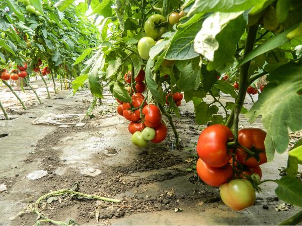 Seminte de tomate nedeterminate Izmir F1, 500 sem 1