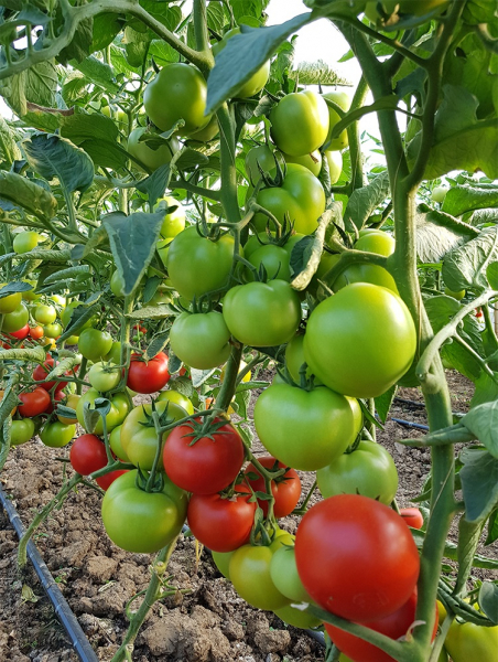 Seminte de tomate semideterminate Kaponet F1, 500 sem [0]