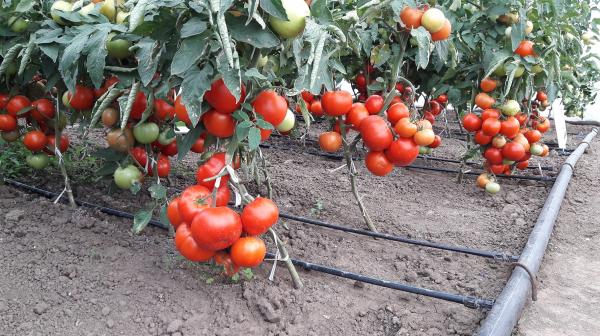 Seminte de tomate semideterminate Kaponet F1, 500 sem [2]
