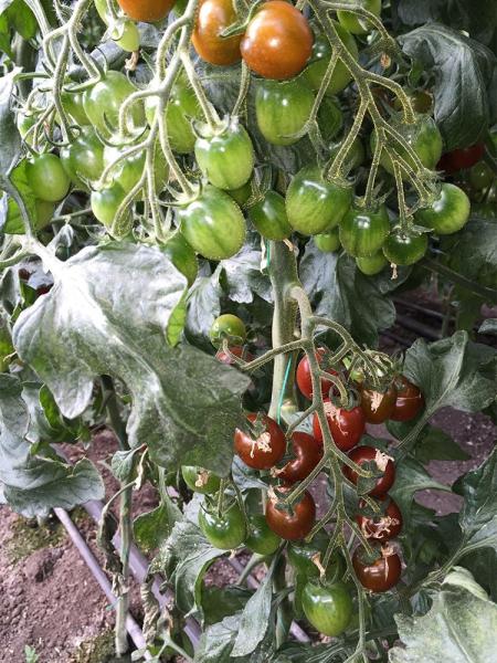 Seminte de tomate nedeterminate, cherry, KM5512 F1, 1000 sem 2