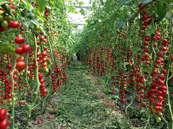 Seminte de tomate nedeterminate, cherry prunisoara, Landolino F1, 2500 sem [0]