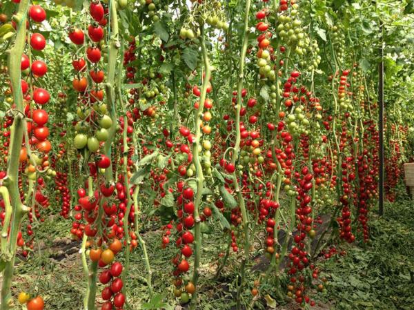 Seminte de tomate nedeterminate, cherry prunisoara, Landolino F1, 2500 sem [2]