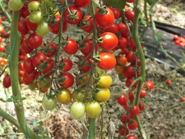 Seminte de tomate nedeterminate, cherry prunisoara, Landolino F1, 2500 sem [3]