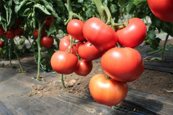 Seminte de tomate nedeterminate Malduo F1, 500 sem [0]