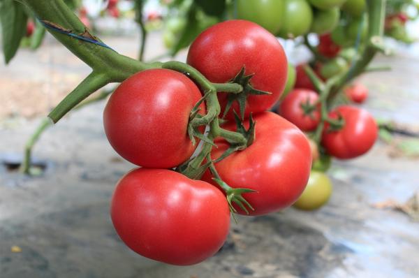 Seminte de tomate nedeterminate Mamston F1, 500 sem 1