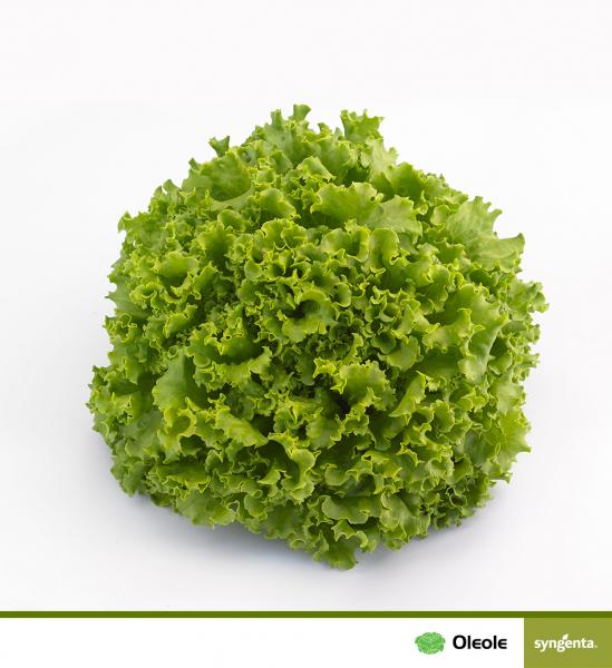 Seminte de salata Oleole F1 [0]