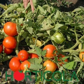 Seminte de tomate determinate Bobcat F1, 1000 sem [1]