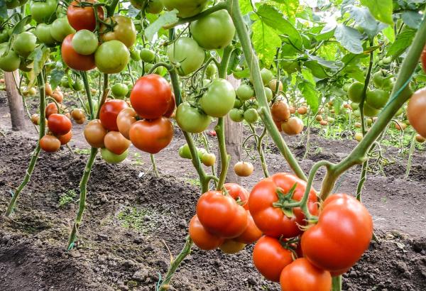 Seminte de tomate semideterminate Qualitet F1, 500 sem [0]