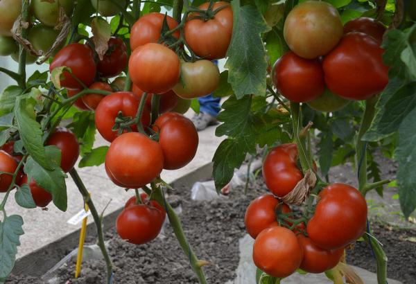 Seminte de tomate semideterminate Qualitet F1, 500 sem [2]
