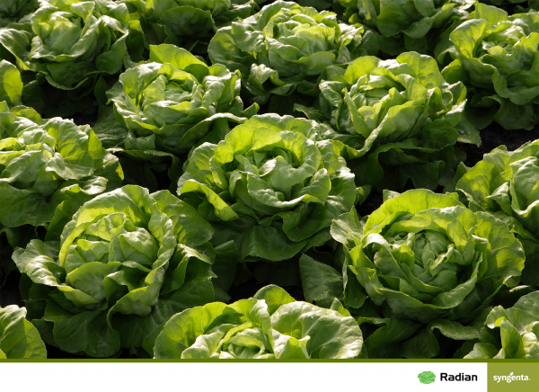 Seminte de salata Radian F1 [0]