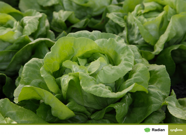 Seminte de salata Radian F1 [1]