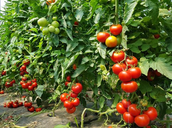 Seminte de tomate nedeterminate Sandoline F1, 500 sem [3]