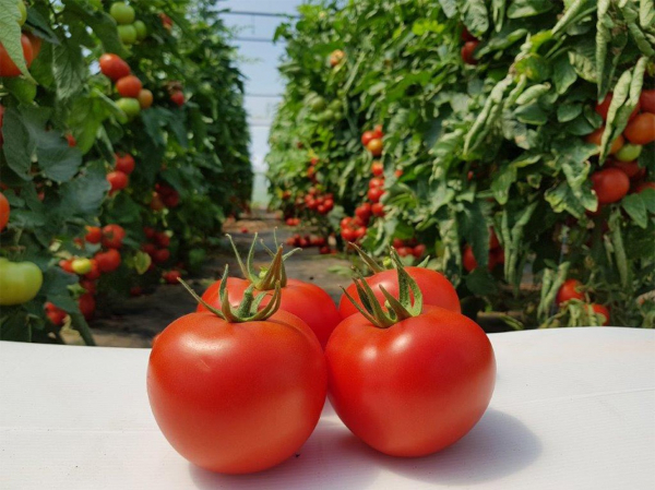 Seminte de tomate nedeterminate Sandoline F1, 500 sem [4]