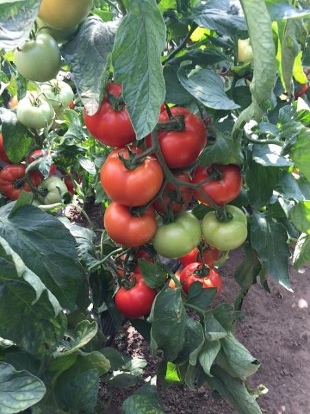 Seminte de tomate nedeterminate, Moldoveanu F1 [3]
