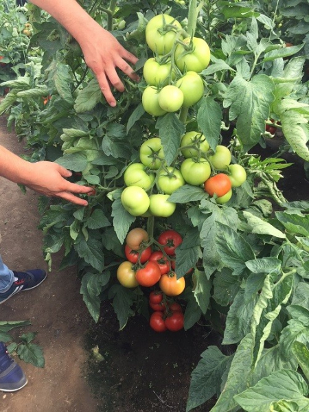 Seminte de tomate nedeterminate, Moldoveanu F1 [2]