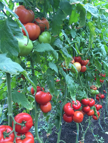 Seminte de tomate nedeterminate Kingset F1, 500 sem [5]