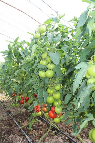 Seminte de tomate nedeterminate Kingset F1, 500 sem [1]