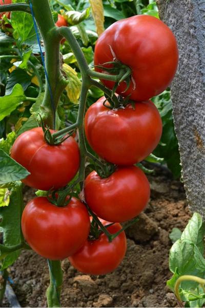 Seminte de tomate semideterminate Devonet F1, 500 sem [2]