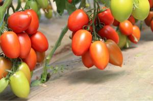 Seminte de tomate nedeterminate, prunisoare, Bacalar F1, 500 sem0