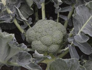Seminte de broccoli Batory F1, 2500 seminte [0]