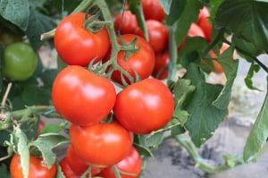 Seminte de tomate nedeterminate Ciciu F1, 500 sem3