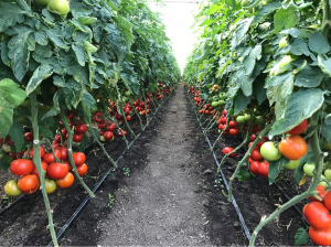 Seminte de tomate nedeterminate Ciciu F1, 500 sem8
