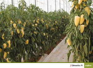 Seminte de ardei gras galben, Dimetino F1, 500 sem [1]