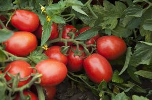 Seminte de tomate determinate Firmus F1, 2500 sem [1]