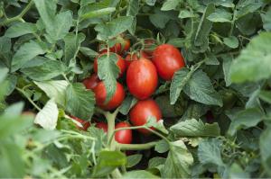Seminte de tomate determinate Firmus F1, 2500 sem [3]