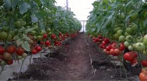 Seminte de tomate semideterminate Gravitet F1, 500 sem [0]