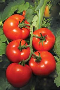 Seminte de tomate nedeterminate Izmir F1, 500 sem0