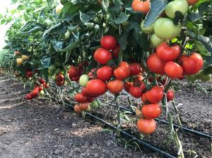 Seminte de tomate semideterminate Kaponet F1, 500 sem [1]