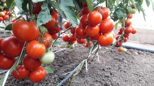 Seminte de tomate semideterminate Kaponet F1, 500 sem [3]