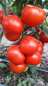 Seminte de tomate semideterminate Kaponet F1, 500 sem [4]