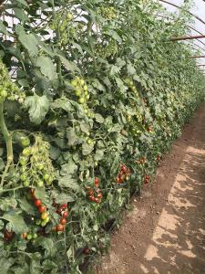 Seminte de tomate nedeterminate, cherry, KM5512 F1, 1000 sem1
