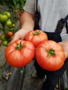 Seminte de tomate nedeterminate Mamston F1, 500 sem2