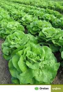 Seminte de salata Orelian F1 [1]