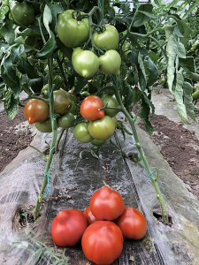 Seminte de tomate semideterminate Pekonet F1, 500 sem [1]
