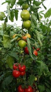 Seminte de tomate semideterminate Melanet F1, 500 sem [3]