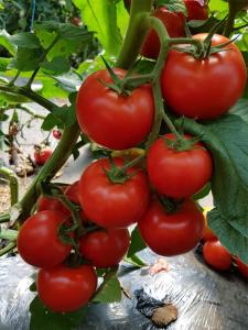 Seminte de tomate nedeterminate Sandoline F1, 500 sem [2]