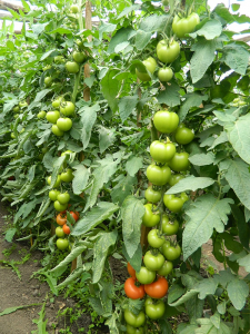 Seminte de tomate nedeterminate Sandoline F1, 500 sem [5]
