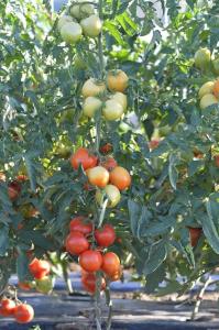 Seminte de tomate nedeterminate, Moldoveanu F1 [4]
